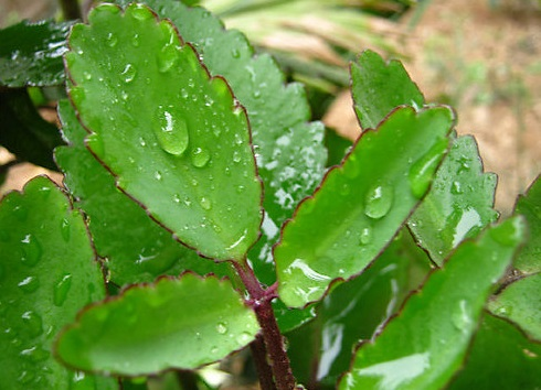 3. Cách chữa bệnh trĩ bằng cây lá bỏng. 1