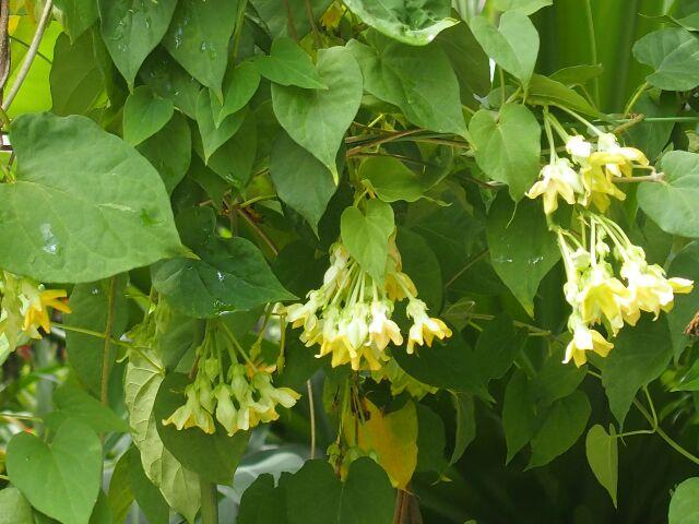 5.Cách chữa bệnh trĩ bằng cây hoa thiên lí. 1