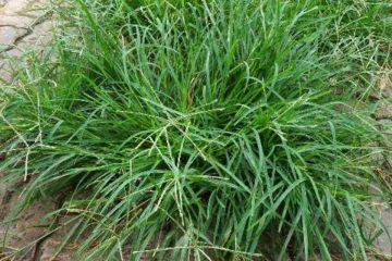 Bài thuốc từ cỏ mần trầu chữa bệnh trĩ