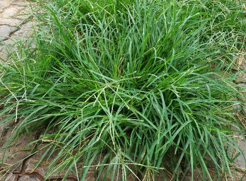 Bài thuốc từ cỏ mần trầu chữa bệnh trĩ 1