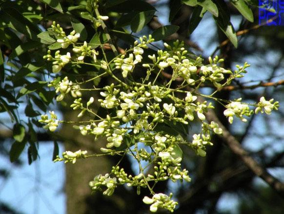 Bài thuốc 2: Dùng hoa hòe chữa bệnh trĩ nội 1