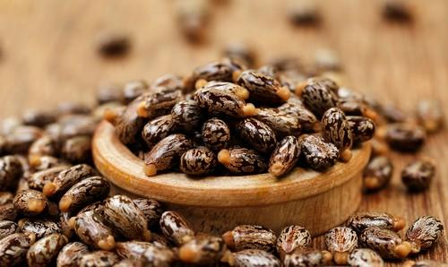 Cách 5: Hạt thầu dầu tía chữa trị bệnh trĩ 1
